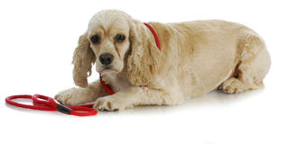 Dog on a leash Royalty Free Stock Photo