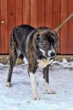 Dog on a leash Stock Photo