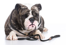 Dog on a leash Royalty Free Stock Photos