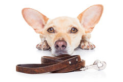 Dog with leash. Chihuahua dog waiting for a walk with owner, begging and looking at you , isolated on white background Stock Photos
