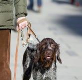 Dog on the leash Royalty Free Stock Image