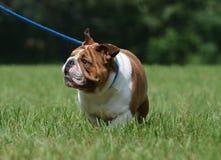 Dog on leash Stock Photography