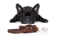 Dog with leash Royalty Free Stock Photo