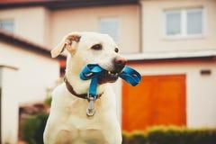 Dog with leash Stock Photos