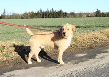 Dog on leash. Light dog on leash standing on asphalt road Royalty Free Stock Photos