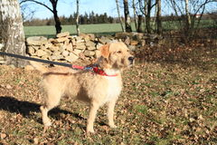 Dog on leash. Light dog on leash standing on meadow Royalty Free Stock Photos