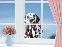 Dog with leash looking through the window royalty free stock image