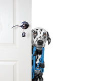 Dog with a leash peeks out from behind the door Royalty Free Stock Image