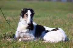 Russian borzoi. Dog on leash sitting in sun on green grass Stock Photo