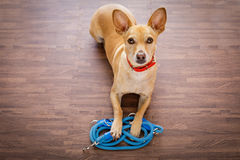 Dog   with leash waits for a walk Royalty Free Stock Images