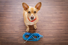 Dog   with leash waits for a walk Royalty Free Stock Photos