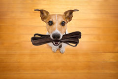 Dog with leash waits for a walk. Jack russell dog waiting for owner to play and go for a walk with leash in mouth , isolated on wood background Stock Photography