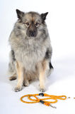 A dog leash. A dog walk with a leash stock image
