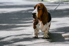 Dog on a leash Stock Photos