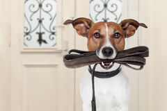 Dog leash walk. Jack russell dog waiting a the door at home with leather leash in mouth , ready to go for a walk with his owner Stock Photo