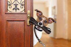 Dog leash walk. Jack russell  dog  waiting a the door at home with leather leash in mouth , ready to go for a walk with his owner Stock Photos