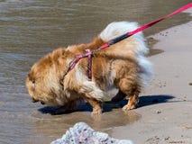 Dog on a leash Stock Image