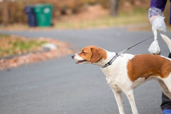 A dog on a leash walking down a street with it's Stock Photo