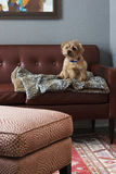 Dog on Leather Couch. This little guy is sitting on a rust colored leather couch in a beautiful, modern living room Royalty Free Stock Image