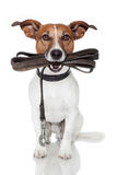 Dog with leather leash royalty free stock photo