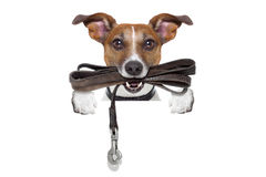 Dog with leather leash Stock Images