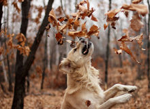 Dog and leaves Royalty Free Stock Photography