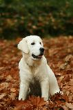 Dog in leaves Stock Photos