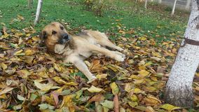 Dog. In leaves Stock Photos