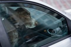 Dog left alone in locked car. Abandoned animal in closed space. Danger of pet overheating or hypothermia. Owner`s negligence and. Health threat royalty free stock photos