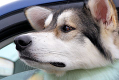 Dog Left Behind In Vehicle Royalty Free Stock Image