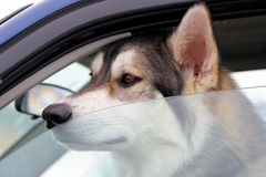 Dog Left Behind In Vehicle Royalty Free Stock Photography