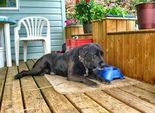 Dog leisurely eating Stock Image
