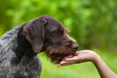Dog licking hand of woman. On green summer background stock photography