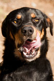 Dog licking his lips Royalty Free Stock Images