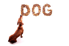 Dog licking its animal feed. On white background royalty free stock photo