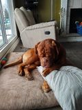 Dog licking leg. Dogue de bordeaux cleaning leg Royalty Free Stock Image