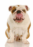 Dog licking lips Stock Image
