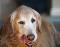 Dog Licking Lips Royalty Free Stock Images