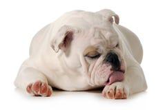 Dog licking paw. English bulldog grooming isolated on white Stock Photography