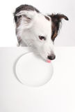 Dog licks empty plate Royalty Free Stock Photography