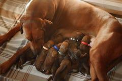 Dog licks her newborn cute little puppy Stock Photography