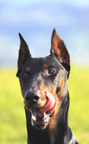 Dog licks his whiskers. Portrait of a Doberman that licks his whiskers royalty free stock photo
