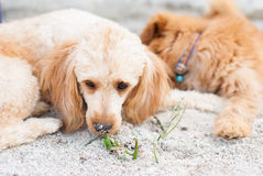 Dog lie down on sand Royalty Free Stock Image