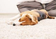 Dog lie on soft carpet. Beagle relax at home. Stock Photos