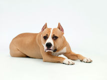 Dog lies Stock Images
