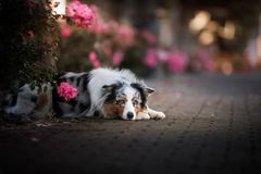 Dog lies in the flower. Pet outdoors in the spring. Australian shepherd royalty free stock images