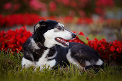 The dog lies on a grass against red flowers. Royalty Free Stock Photography