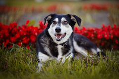 The dog lies on a grass against red flowers. Stock Images