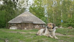 The dog lies on the grass next to the village house on the outskirts of a green forest. Rural landscape. Summer. stock footage