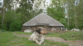 The dog lies on the grass next to the village house on the outskirts of a green forest. Rural landscape. Summer. stock video footage